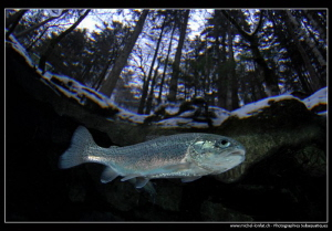 Trout close to the surface... :O)... by Michel Lonfat 